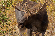 A bull moose enjoys an afternoon snack in Grand Teton National Park
