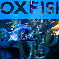 TAMPA, FL -- Boxfish swim at the Florida Aquarium in Tampa, Florida.  The aquarium boast numerous exhibits and ecosystems such as the Wetlands Trail, Bays and Beaches, Coral Reef, and Ocean Commotion.  (Photo / Chip Litherland)