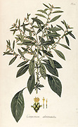 Hand painted botanical study of a Carpesium abrotanoides (Carpesium thunbergianum) plant anatomy from Fragmenta Botanica by Nikolaus Joseph Freiherr von Jacquin or Baron Nikolaus von Jacquin (printed in Vienna in 1809)