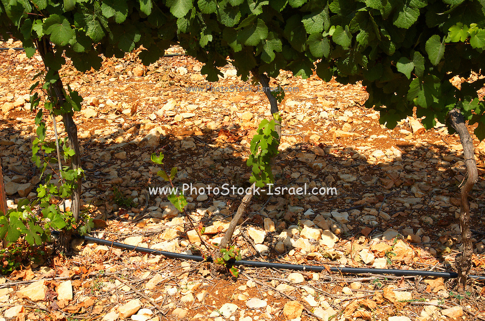 Israel, Judea Hills, Tzora winery and vineyards. A plot of Gewurtzstraminer grapes planted in terra cotta near Shoresh June 2007, 6 weeks before harvest. The drip irrigation pipes are visible between the vines