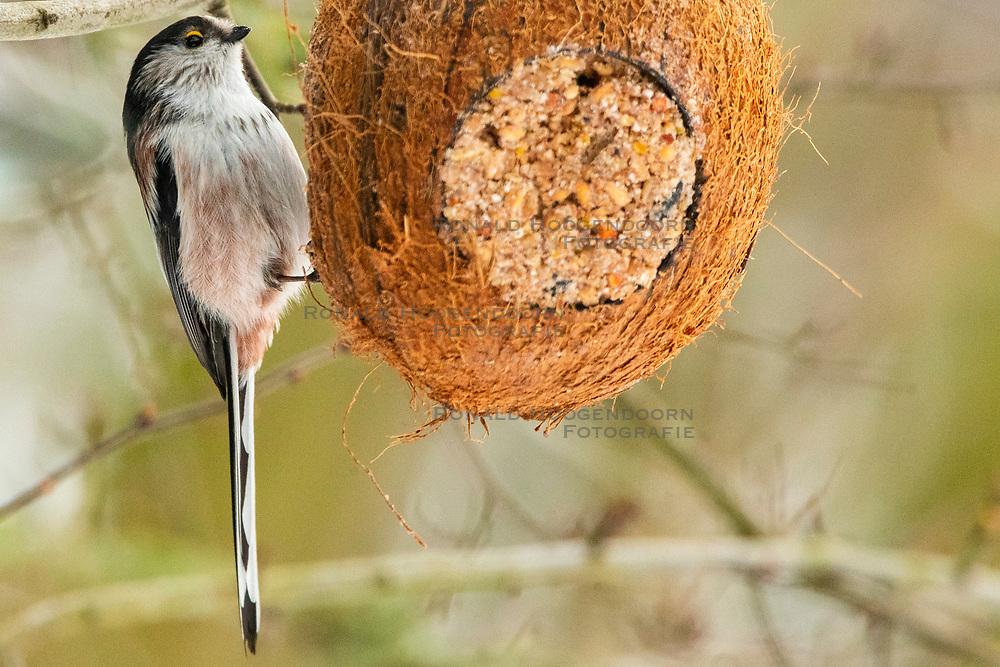 23-01-2019 NED: Birdwatch around your garden, Maarssen<br /> Staartmees (Aegithalos caudatus)