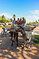 Oxen in Kilometro Cero, Cueto, Holguin, Cuba.
