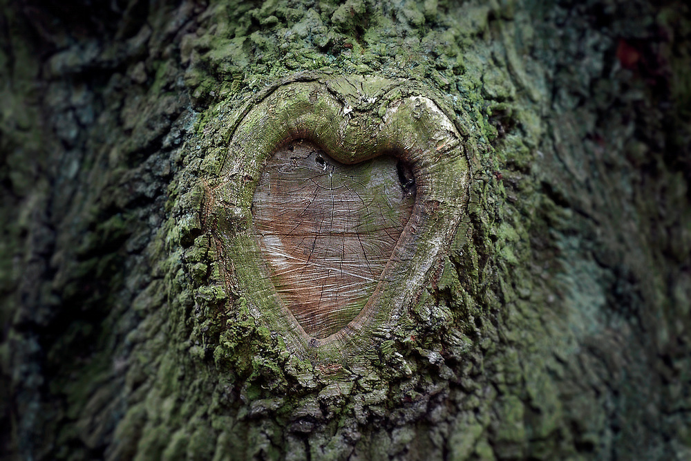 A heart shape has been formed on a tree some time after it was managed by pollarding.