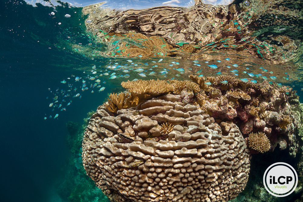 Pavona is the dominant coral in this image.  Acropora is directly at the surface in this shallow water environment. Blue chromis (Chromis viridis) schooling at the surface.
