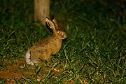 Sao Jose do Rio Preto_SP, Brasil...Programa Biota da Unesp, na foto um coelho...The Biota program of Unesp, in this photo a rabbit...Foto: JOAO MARCOS ROSA / NITRO