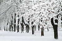 Snowy line of trees