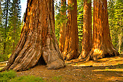 Giant sequoias rooted firmly in the forest floor of Yosemite