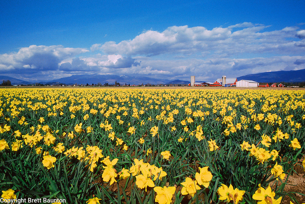 Skagit Valley Daffodils, Washington
