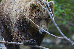 Close-up, a coastal brown bear ( Ursus arctos ) with paw pushing down a branch as it approaches, front view, Katmai Peninsula, Alaska