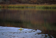 Beaver, Pond, Denali National Park, Alaska