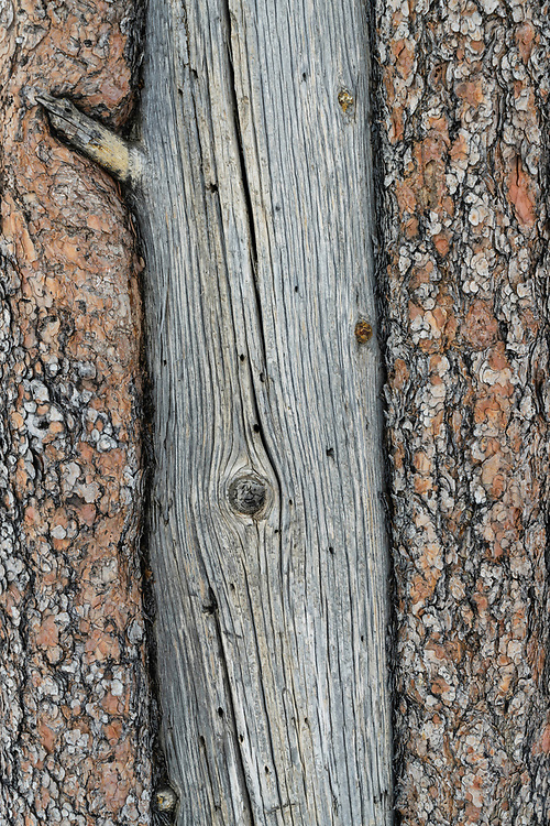 Close-up view of a pine tree trunk and the bark in Bryce Canyon National Park.