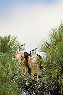 Short-tailed Hawks (Buteo brachyurus) in nest, watching an adult overhead, circling the nest; Arizona (Nesting Record)