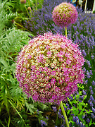 An allium (onion) flower grows in a ball at Cedarbrook Lavender and Herb Farm, at the Sequim Lavender Festival held mid July on the Olympic Peninsula in Washington, USA. Lavender is a flowering plant in the mint family (Lamiaceae).
