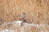 The winter of 2017 in Utah has become almost a record year for snowfall in the marshlands of northern Utah like Bear River Bird Refuge the owls come to survive large quantities of mice help feed many species of owls Short Eared Owls, Barn Owls and this owl which is a Great Horned Owl!