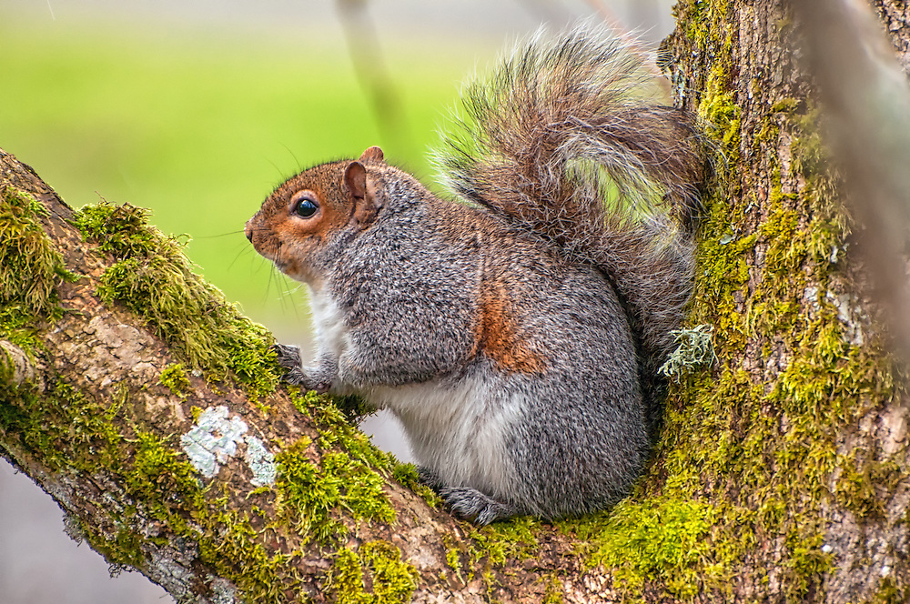 This northeastern subspecies of the western gray squirrel pauses in a tree long enough for me to make this image in the Nisqually National Wildlife Refuge near Olympia, Washington. Because they are drastically declining in number, mainly due to non-native and invasive species of other squirrels like the more aggressive eastern gray squirrel and the fox squirrel, in 1993 the state of Washington officially listed the western gray squirrel as a threatened species.