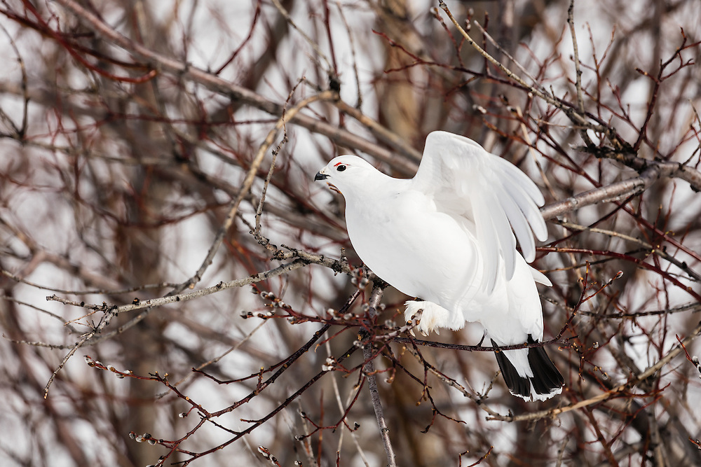 Willow Ptarmigan (Lagopus lagopus) foraging in willow tree in early spring in Arctic Valley in Southcentral Alaska. Afternoon.