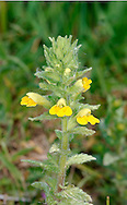 YELLOW BARTSIA Parentucellia viscosa (Scrophulariaceae) Height to 40cm. Stickily-hairy, unbranched annual that is semi-parasitic on the roots of other plants. Grow in damp, grassy places, mostly near the sea and often in dune slacks<br /> FLOWERS are 15-35mm long, the corolla bright yellow and 2-lipped, the lower lip 3-lobed; in leafy spikes (Jun-Sep). FRUITS are capsules. LEAVES are lanceolate and unstalked. STATUS-Very locally common near coasts of S and SW England and W Ireland.