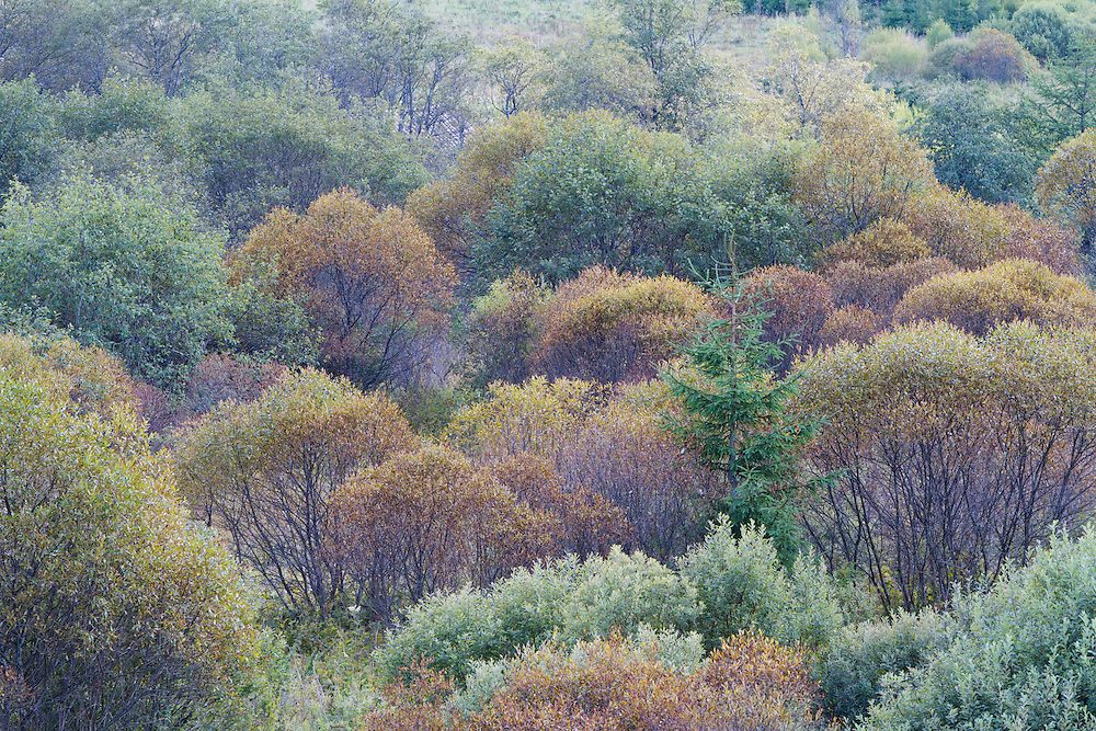 Natural regrowth of vegetation with Willow (Salix sp.), Elm (Ulmus sp.) and Spruce (Picea sp.) in a valley close to the former village of Beniowa, Poland.