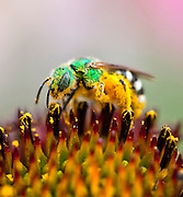 A macro shot of a metallic green bee (Agapostemon) on a coneflower.