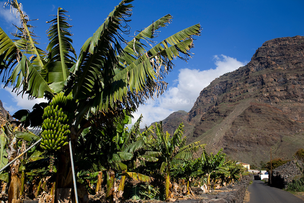 Banana tree beside road in Valle Gray Rey, La Gomera, Canary Islands. The Banana was introduced to the Canary Islands in the 16th century.