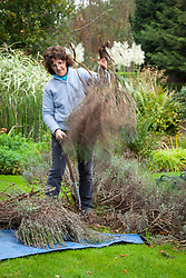 Digging up an old woody lavender bush in autumn