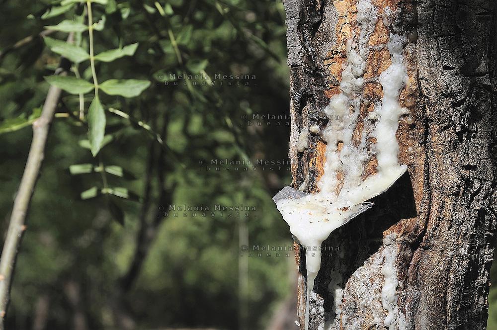 Castelbuono,  manna nel frassineto.<br /> <br /> Castelbuono: manna in the wood ash.