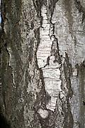 Bark of silver birch tree, Betula pendula, close up