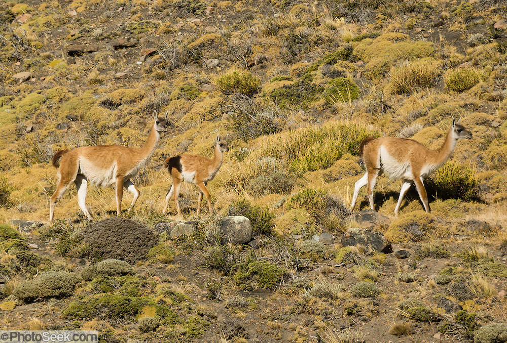 Wild guanacos (Lama guanicoe, related to camels) graze in Torres del Paine National Park, Chile, South America. The foot of South America is known as Patagonia, a name derived from coastal giants, Patagão or Patagoni, who were reported by Magellan's 1520s voyage circumnavigating the world and were actually Tehuelche native people who averaged 25 cm (or 10 inches) taller than the Spaniards.