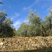 Bucine (Arezzo) - Raccolta delle olive in Toscana presso l'azienda Lupinari.