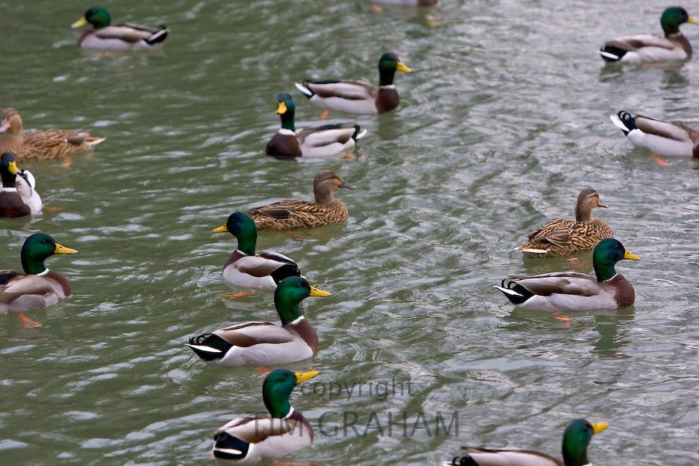 Male and female mallard ducks in River Windrush, Burford, The Cotswolds, United Kingdom