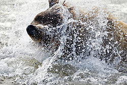 North American brown bear / coastal grizzly bear (Ursus arctos horribilis) sow shakes off water while fishing in a creek, Lake Clark National Park, Alaska, United States of America