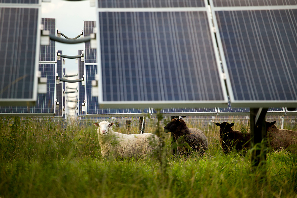 Dorset Tunis sheep graze under solar panels at dusk at Open View Farm in New Haven, Vt., on Aug. 19, 2017. The 2.49-megawatt solar array was designed and built by Vermont-based groSolar in 2013 for owners Cross Pollination Inc. The solar array generates enough power for 350 homes each year. (Photo by Geoff Hansen)