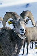 A bighorn ram (Ovis canadensis canadensis) Marked with an ear tag and radio collar. Lostine Ridge, Wallowa Mountains, Oregon.