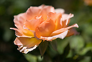 Photo peach rose flower petals, matted print, wall art, macro, close up. California nature, garden, photography. Santa Monica, Westside, Venice, Los Angeles, Fine art photography limited edition.