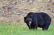 A Black Bear (Ursus americanus) eating dandelion flowers in E C Manning Provincial Park, British Columbia, Canada