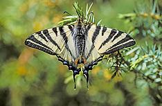 Butterflies, Vlinders of schubvleugeligen, Lepidoptera