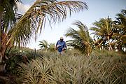Erwin Abraham, 63, farmer, harvesting his pineapples