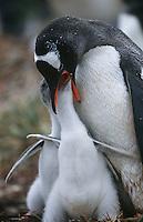 UK Falkland Islands Gentoo Penguin feeding chicks