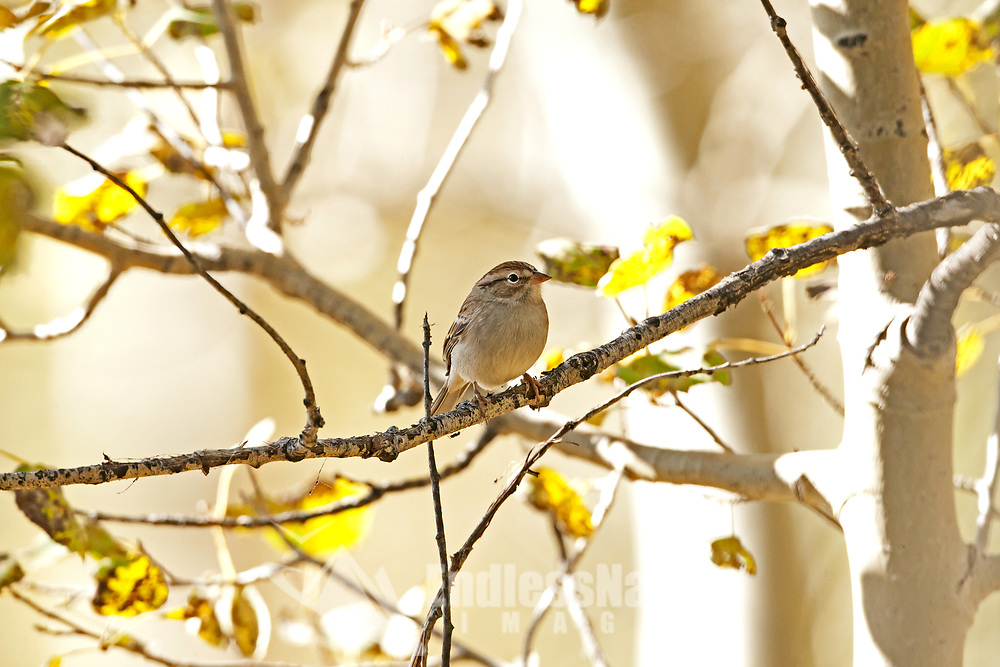 A Chipping Sparrow rests on the branch of an aspen tree after feeding on insects on the ground below the tree.
