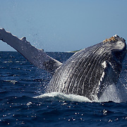 Humpback whale (Megaptera novaengliae) breaching against a backdrop of blue water