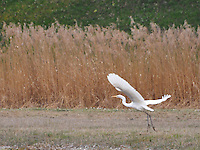Switzerland. Springtime. Graceful white heron taking flight.