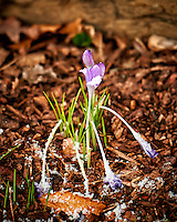 Early blooming purple crocuses after a quick snowfall. Winter nature in New Jersey. Image taken with a Nikon Df camera and 70-200 mm f/2.8 lens (ISO 400, 200 mm, f/2.8, 1/160 sec).