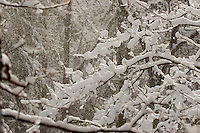 Snow covered tree branches.