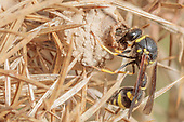 Heath potter wasp