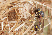 Heath potter wasp (Eumenes coarctatus) constructing clay nest pot on gorse. Dorset, UK.
