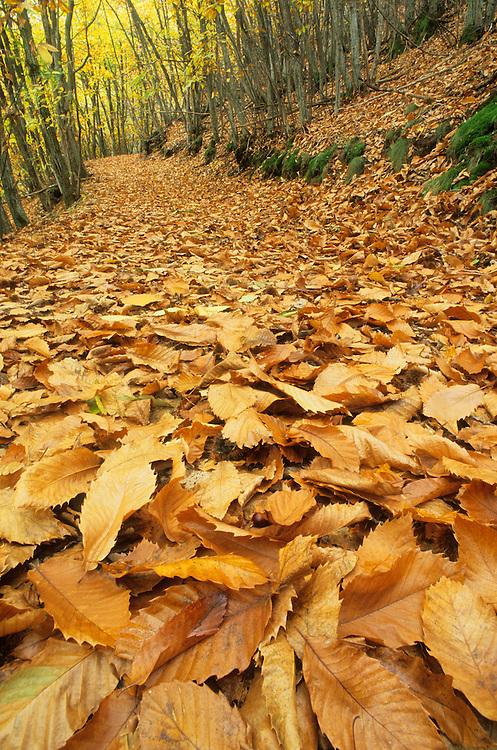 France, Languedoc Roussillon, Cevennes, chemin dans les châtaigners, automne