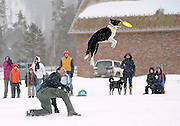 Byron Hetzler/Sky-Hi Daily News.Matt DiAno and his dog Maggie perform during the Total Performance Disc Dogs show at the Grand Park Dog Days of Winter as part of the Winter Park Winter Carnival on Saturday.