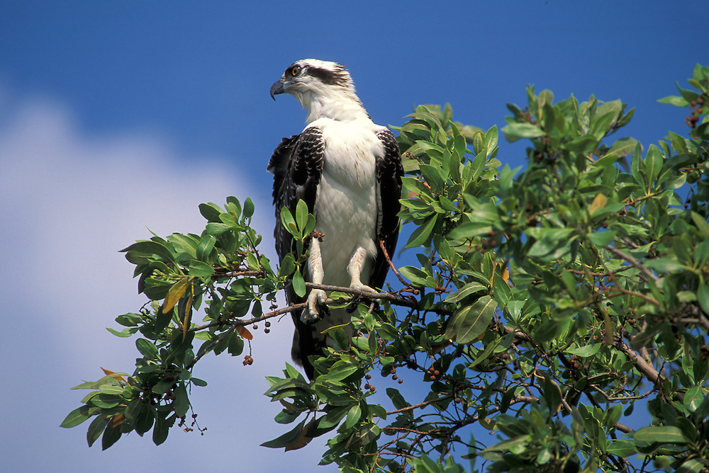 Osprey,Florida,USA
