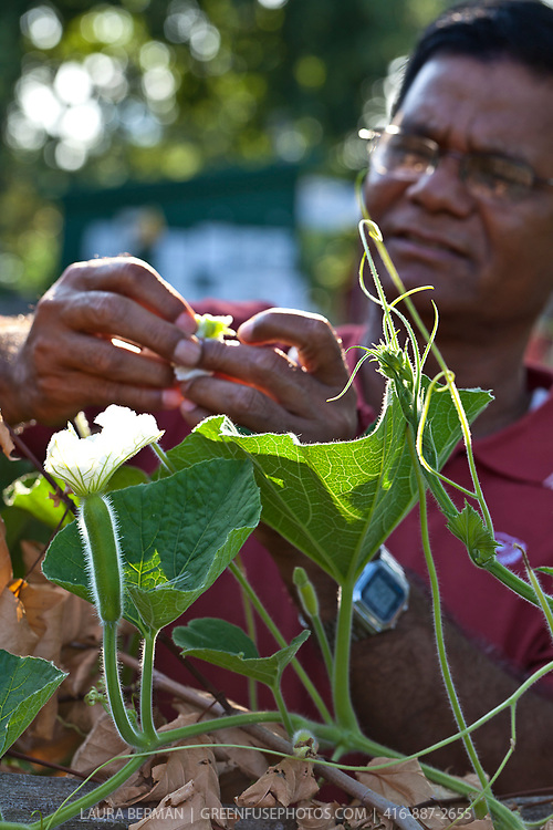 Hand pollination of the Bottle gourd (Lagenaria siceraria) an annual vine  having white flowers and smooth, large, hard-shelled gourds. Grown most often in warmer climates, this squash grows from 6 to 36 inches long and 3 to 12 inches in diameter.