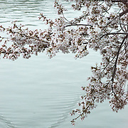 Washington DC's cherry blossoms in bloom  with a duck cruising by on calm waters.
